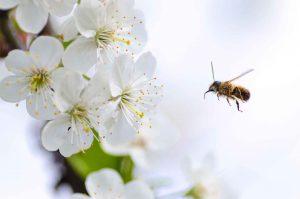 הדברת דבורים