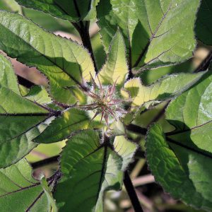 חיפושית הטבק